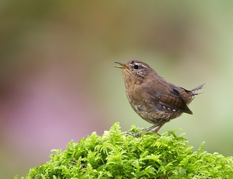 Pacific Wren Vancouver Is 6842161146 temperate rainforest Eleanor Briccetti Wikimedia