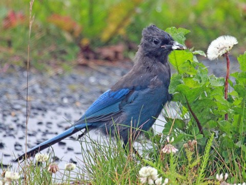 640px Stellers Jay RWD Dick Daniels Wikimedia temperate rainforest