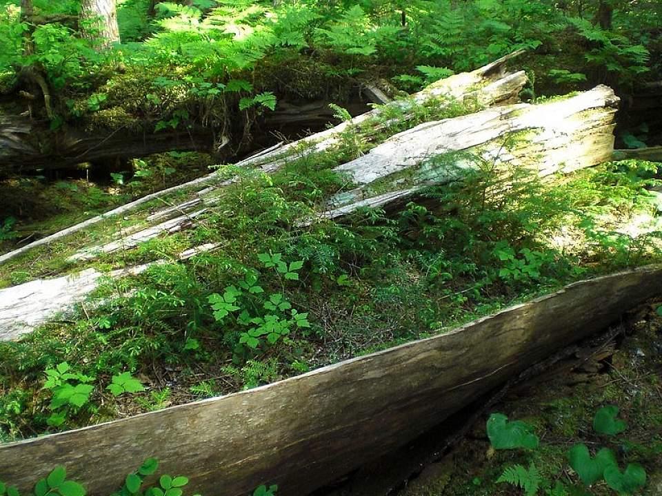 Nurse log temperate rainforest leonlngul 5818114019 e9bce8e688 c