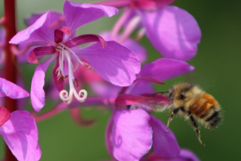 Alaska's fireweed honey.