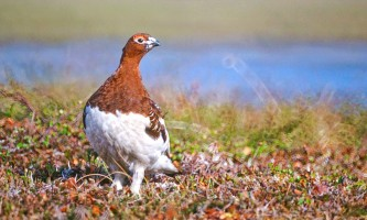 Bird Species FWS Tim Bowman willowptarmigan