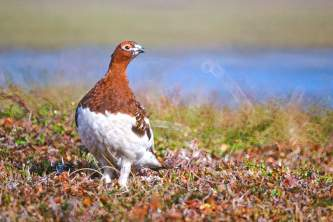 Bird Species FWS Tim Bowman willowptarmigan