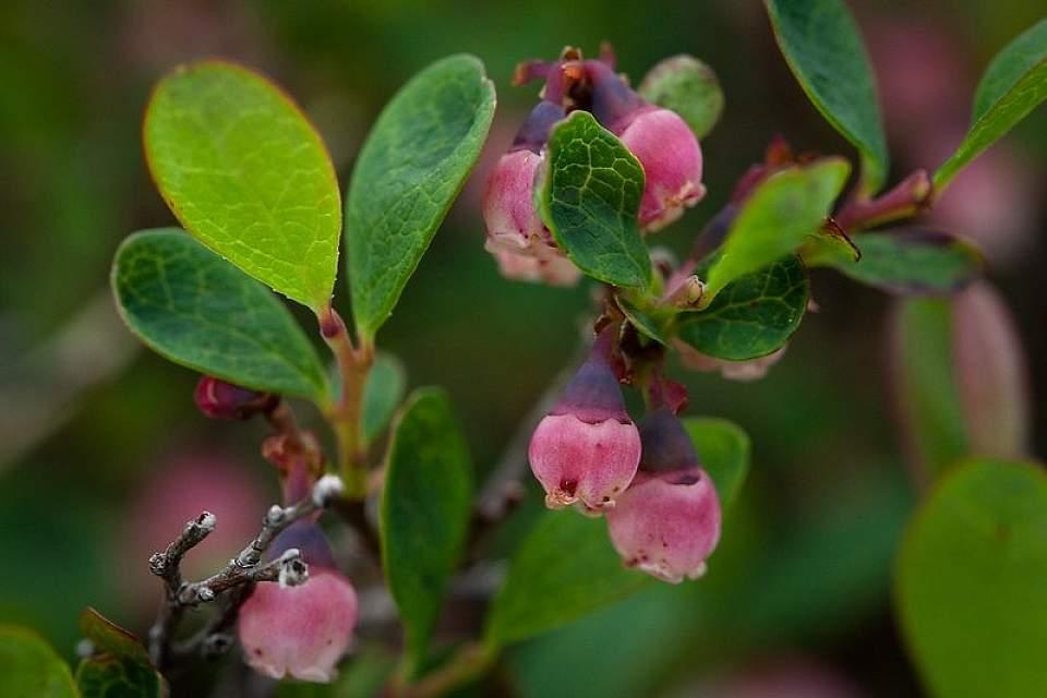 Tundra bog blueberry Sandy Brown Jensen Flickr 15261251255 972203d883 c