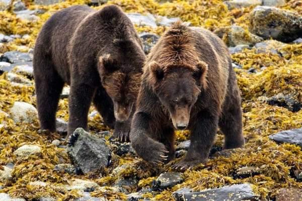 alaska-bear-viewing-lodges