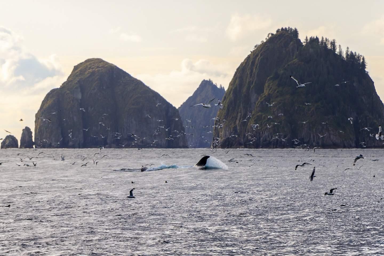 Whale splashes in Kenai Fjords National Park