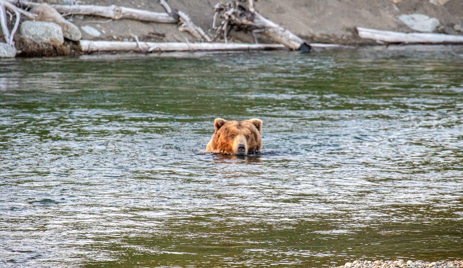 A bear peers out over the water in Katmai National Park
