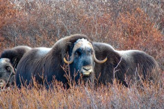 Humans Muskox Dry Creek Nome Anita Helsius
