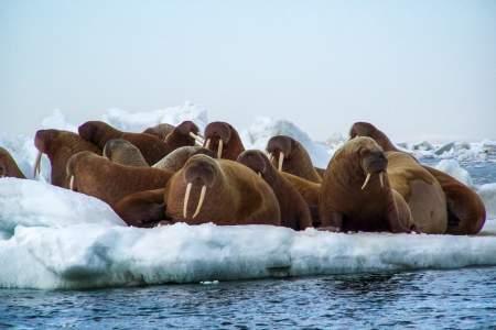 Humans walrus southwest alaska jeffrey kashatok