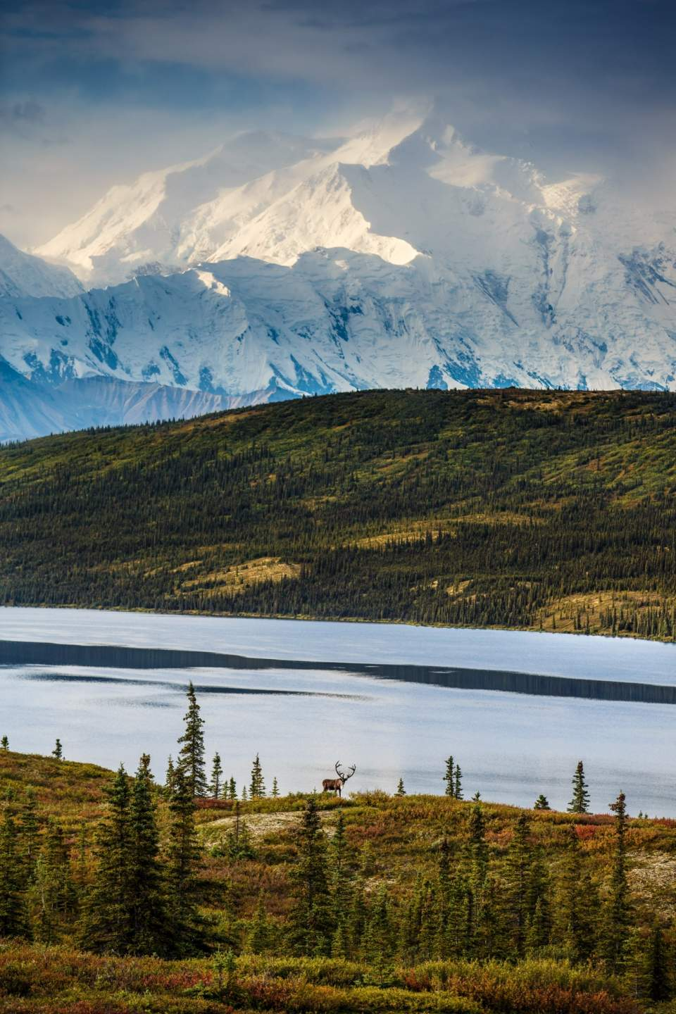 Bull Caribou in Denali National Park with Mt. Denali and Wonder Lake in background