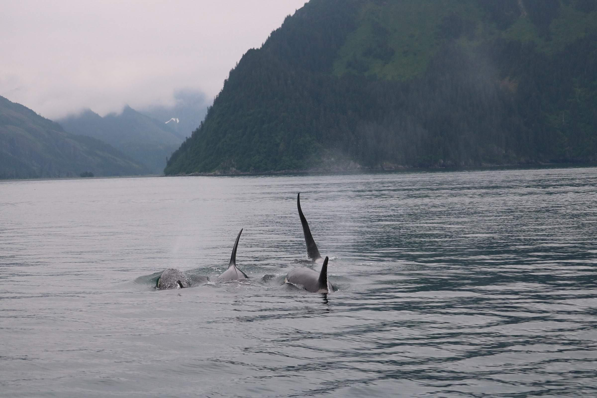 Orcas swimming in Kenai Fjords National Park