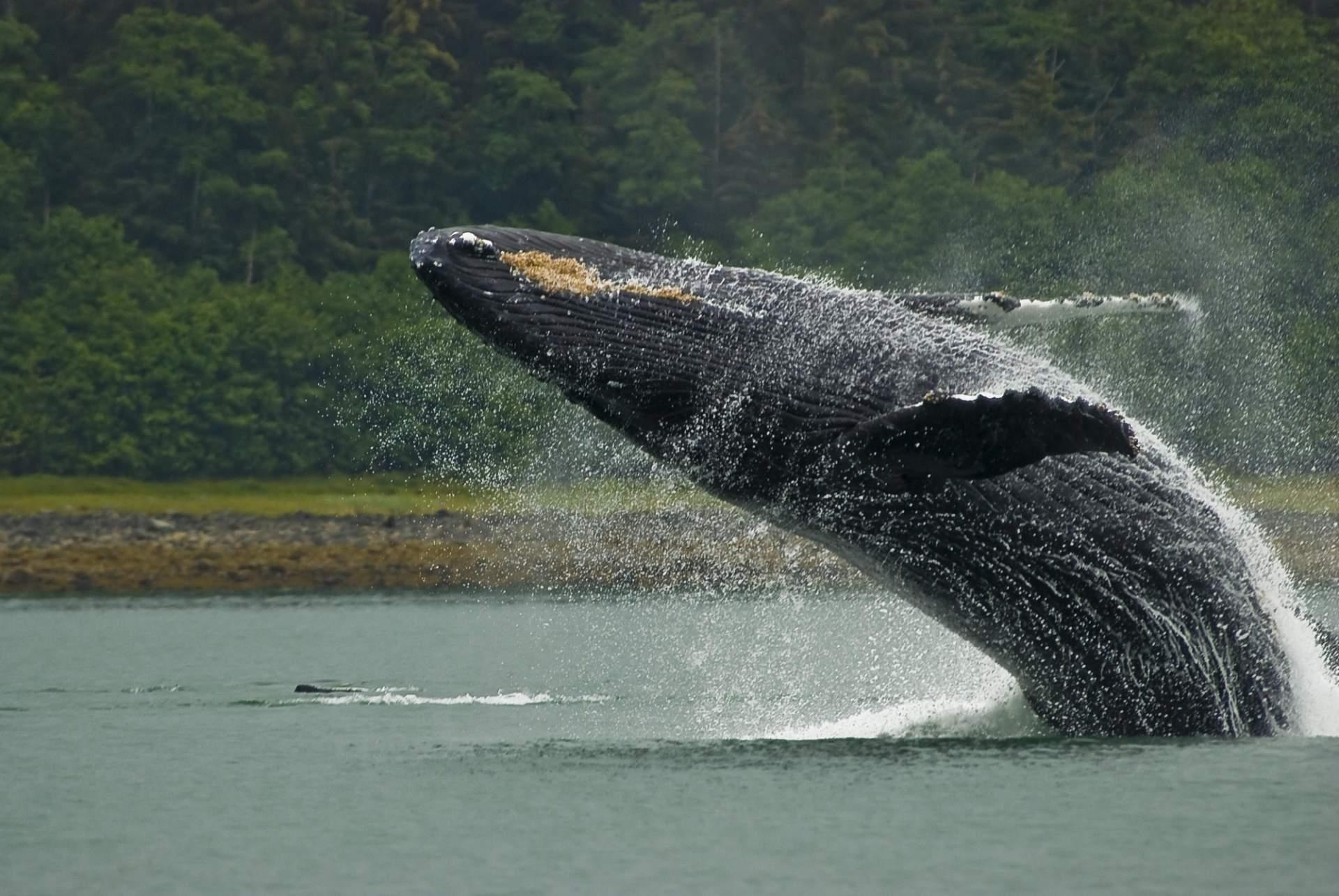 Humpback whale breaching near Juneau, Alaska