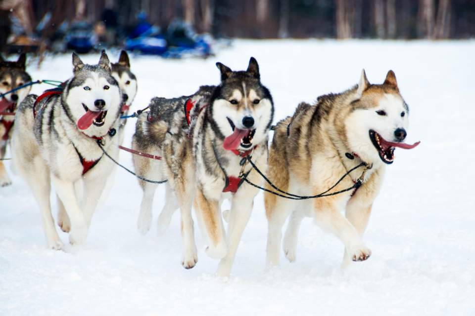 Watch the Iditarod start and then experience the thrill for yourself by taking a dog sledding tour