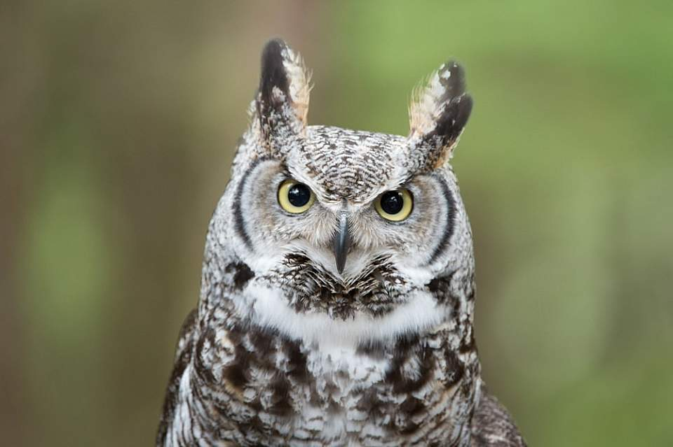 Sitka things to do see wildlife alaska raptor center Great Horned Owl Narwhal 2017