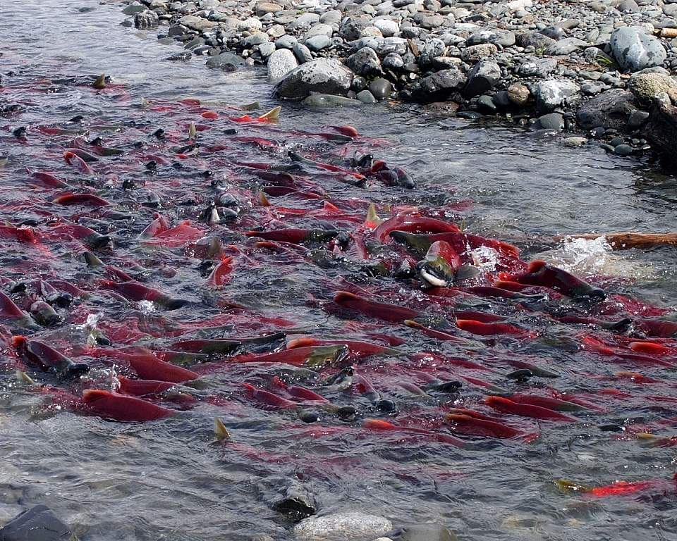 Salmon spawning in a river