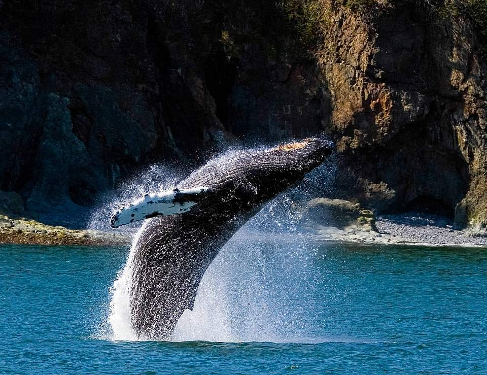 A humpback whale jumping out of the water