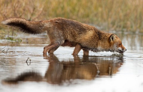 A fox drinking water out of a stream