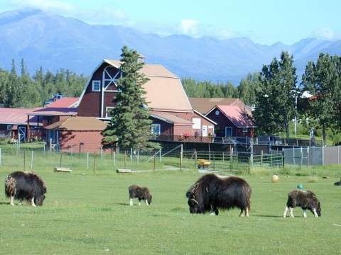 Musk Ox graze in a field with a red barn house and mountains in the background.