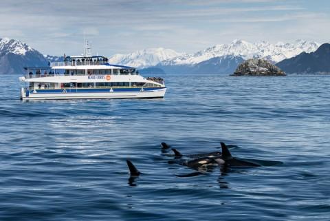 Major Marine Tours cruises pass a a pod of orcas