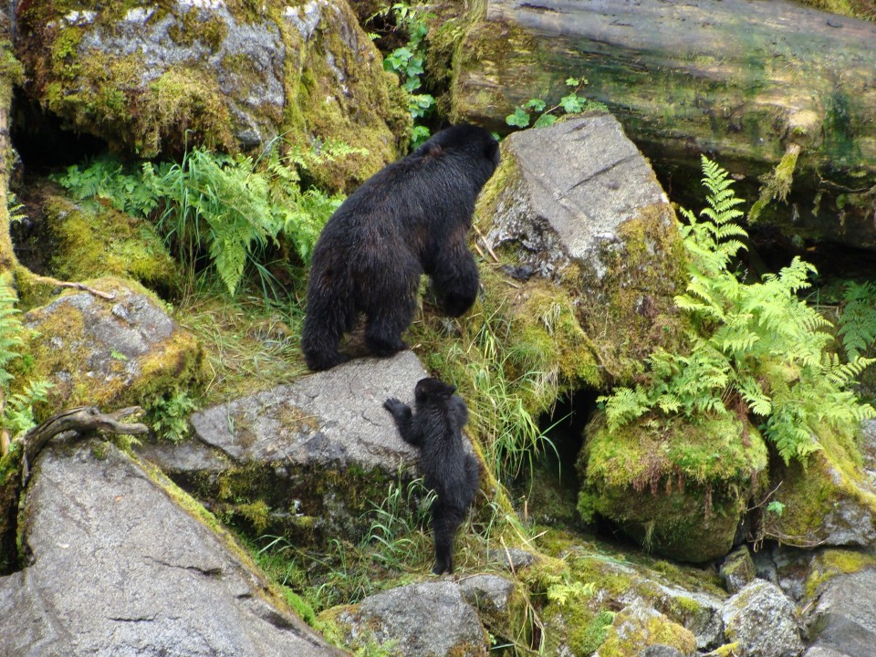 A black bear cub scrambles up some boulders to keep up with it's mother