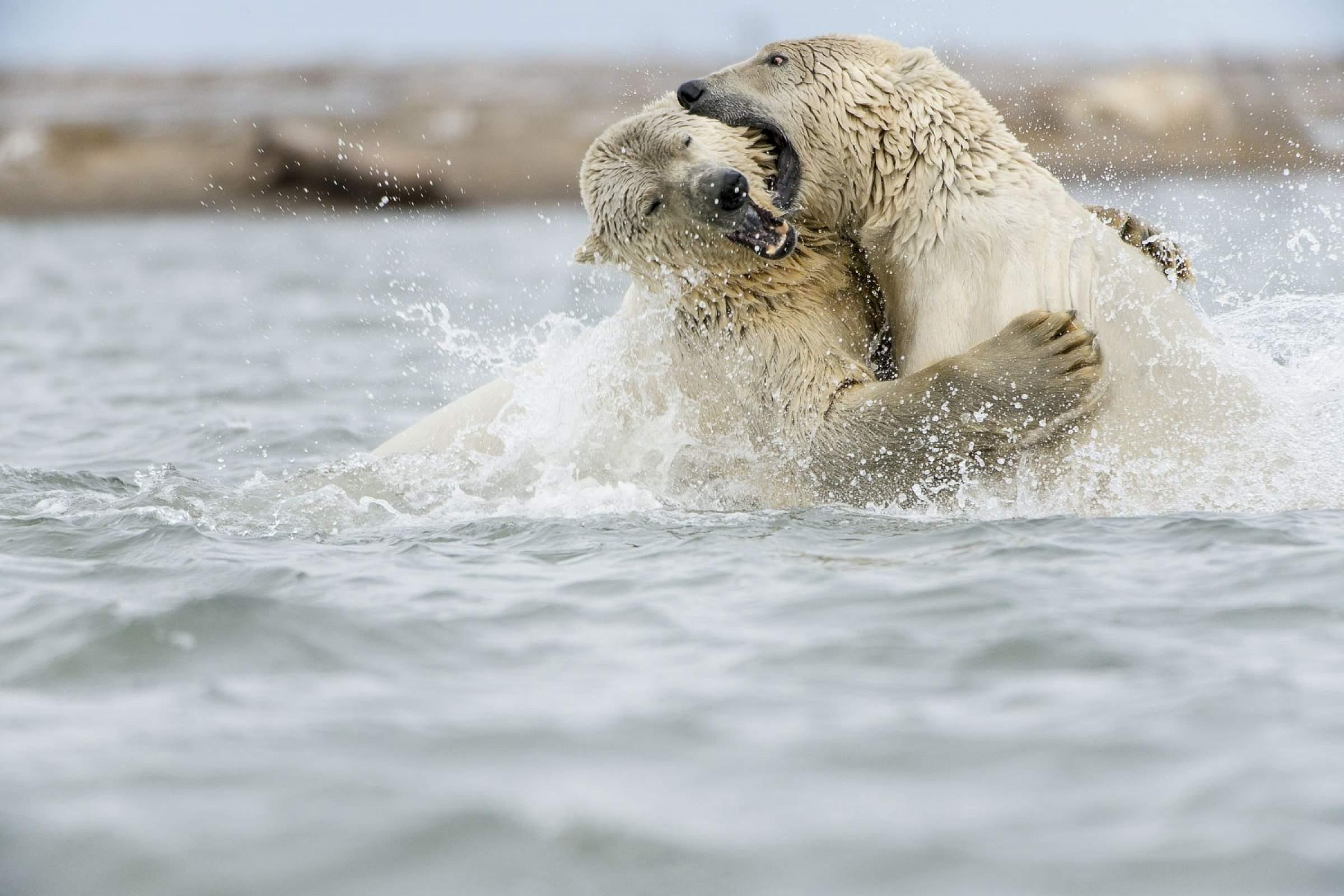 Carl Johnson polar bears Kaktovik Lagoon 0916 KAKT AK 2860