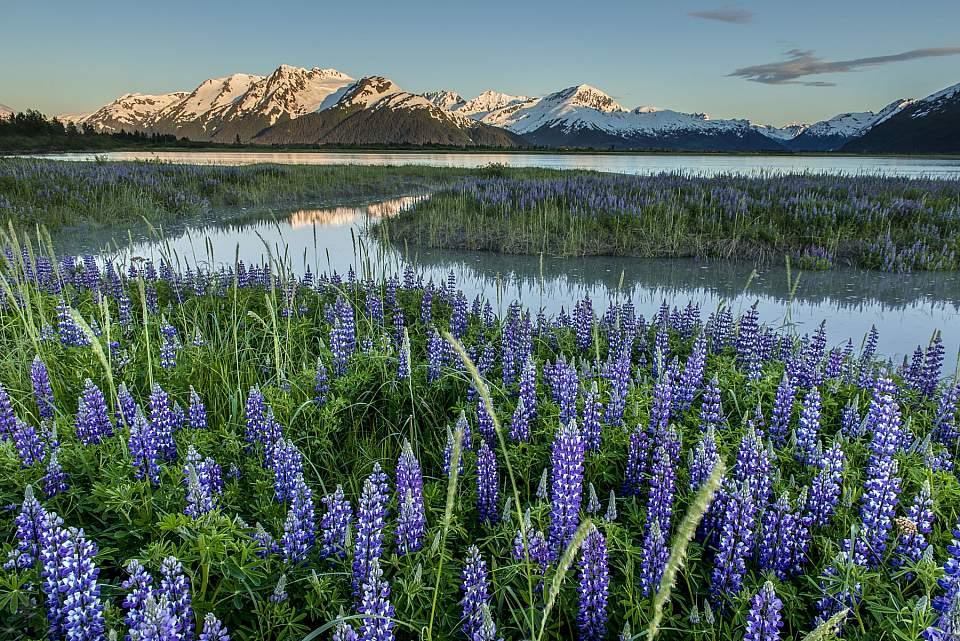 Carl Johnson blue lupine Twenty Mile River 0616 TURN AK 1063