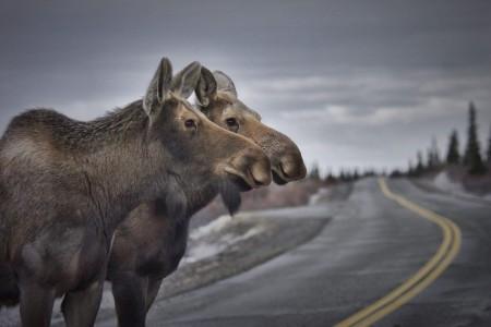 Moose Viewing Spots