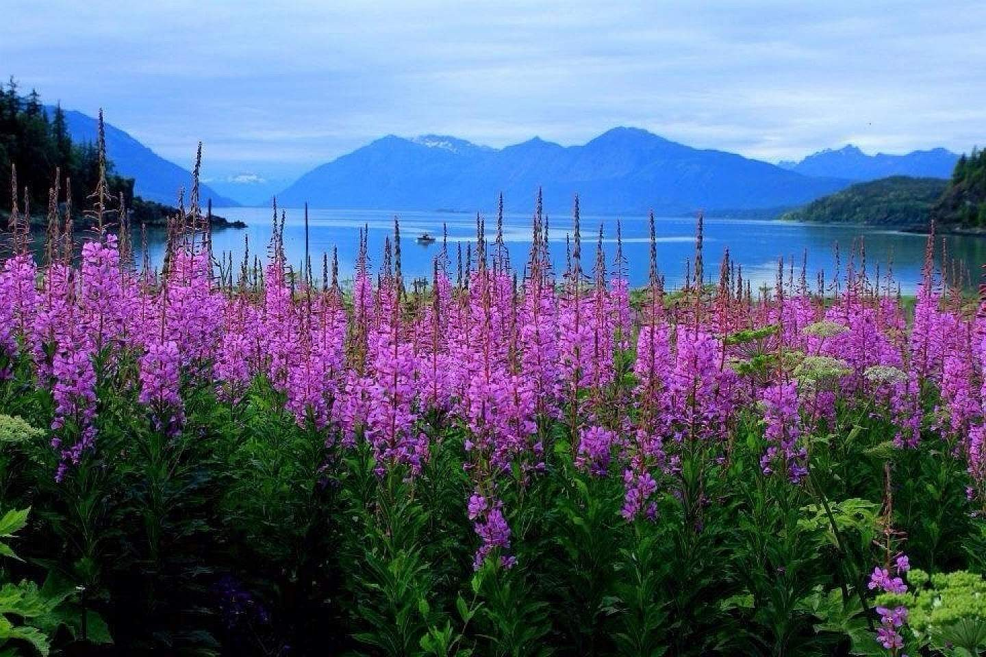 Haines fireweed Chilkat State Park