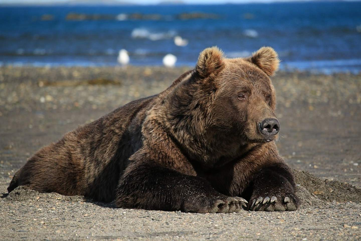 Experience the opportunity of a lifetime as you witness the Alaska Coastal Brown Bear in its natural environment