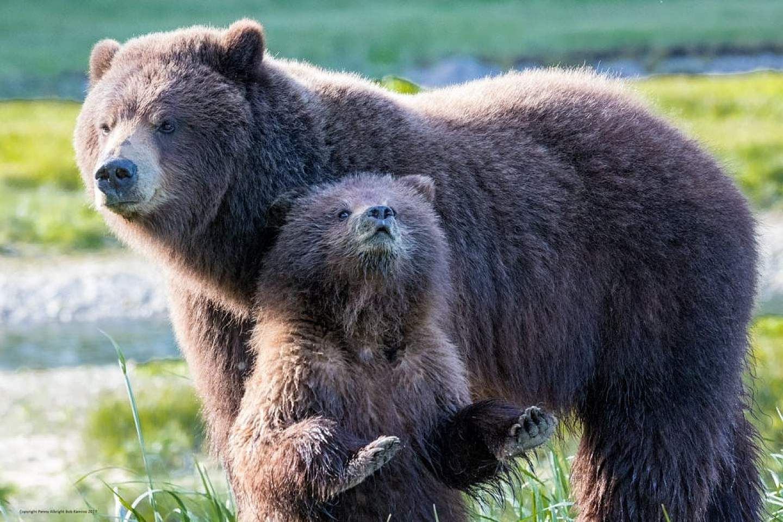 Mother and cub brown bear near Juneau, Alaska