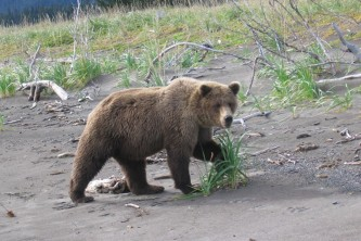 Kenai soldotna bear viewing Alaska Channel