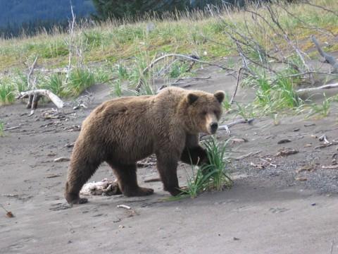 See bears in their natural habitat