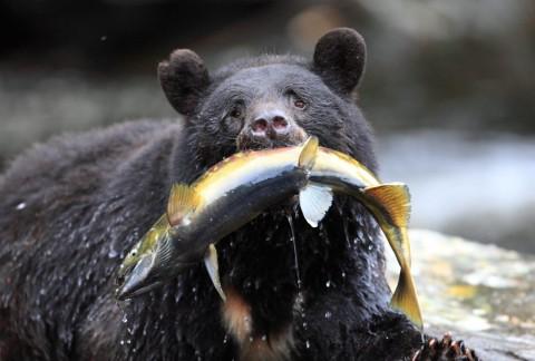 See black bears fishing for salmon