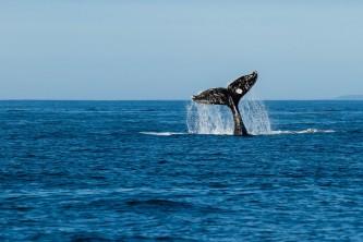 Kodiak Carrie Williams Kodiak Whale Tail Carrie Williams