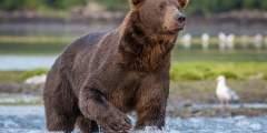 Alaska Jess Chris photos for Island Bears 2 www Jess Taunton com 2018