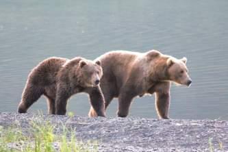 Alaska brown bears at north fraser alaska org deborah bower Deborah Bower public use cabins