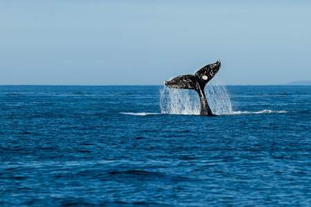 Alaska Carrie Williams Kodiak Whale Tail Carrie Williams kodiak