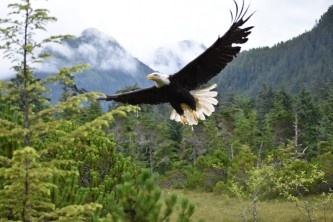 Sitka wildlife parks wild eagle release