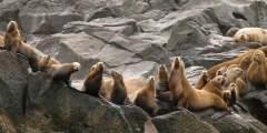 Unalaska sealions sealions makusin unalaska pam aus Pam Aus