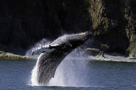 Alaska trip ideas valdez 360 Breach 2 rsz Alaska Channel Stan Stephens Cruises