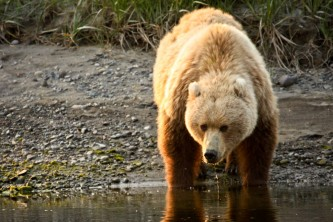 How to Identify Alaska s Bears Coastal Brown Bear o1649l