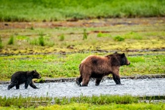 Alaska Bear Facts mir515