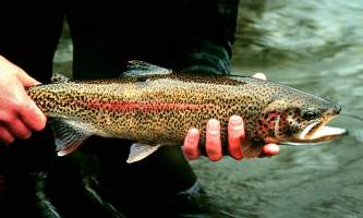 Fishing for Grayling and Trout rainbow trout 2 o1647d
