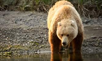How to Identify Alaska s Bears Coastal Brown Bear o1649l