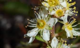 Lichens partridgefoot wikimedia peuh83