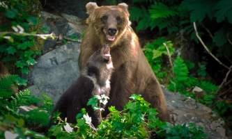 Alaska bear safety Untitled 13 curved cropped o1642d