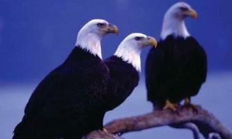Alaska species birds Kenai Fjords bald eagles Alaska Channel