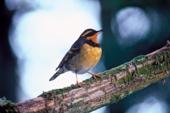 Alaska species birds FWS Menke Varied Thrush