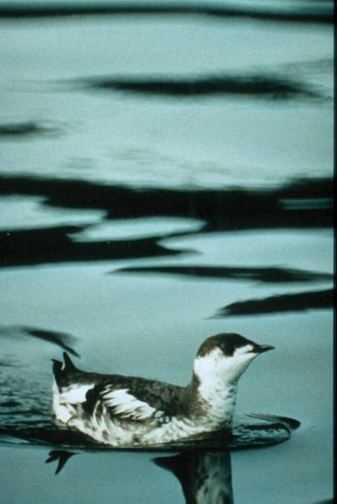 Alaska species birds FWS Gus Van Vliet marbledmurrelet