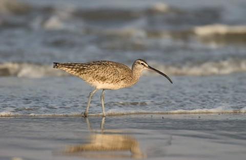Alaska species birds Whimbrel Michael Halminski