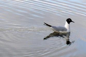 Alaska species birds bonapartes gull